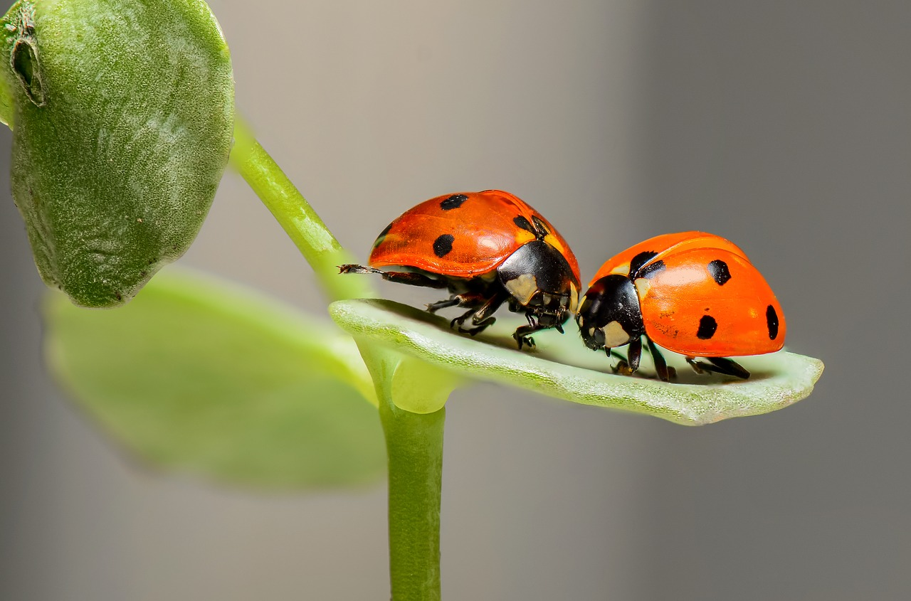 ladybugs-1593406_1280